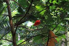 Scharlakansröd ibis Sydamerika royaltyfri fotografi