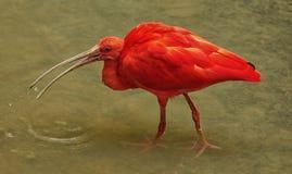 Scharlakansröd ibisEudocimus ruber mot bakgrunden av sjön royaltyfria bilder