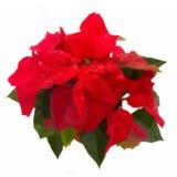 Scharlakansröd julstjärnablomma eller julstjärna vektor illustrationer