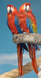 Scharlakansröd macaw 1 arkivbilder