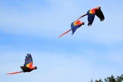 Scharlakansröd macaw Arkivfoto