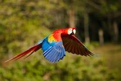 Scharlakansröd Macaw royaltyfri foto