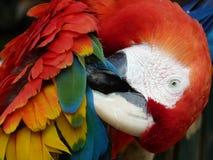Scharlakansröd Macaw Royaltyfria Bilder