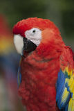 Scharlakansröd Macaw Arkivfoton