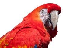 Scharlakansröd Macaw Arkivbild