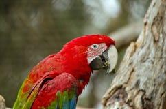 Scharlakansröd Macaw Royaltyfria Foton
