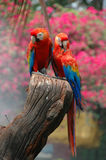 Scharlakansröd Macaw (araen macao) royaltyfria foton