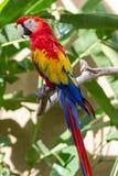Scharlakansröd macaw, i att omge för natur Arkivfoton