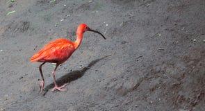 Scharlakansröd röd ibis Arkivfoto