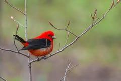 scharlakansröd tanager fotografering för bildbyråer
