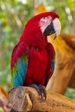 Scharlakansröda aramunkhättor Macao Arkivfoto