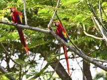 Scharlakansröda aror för lösa par i trädet Costa Rica Arkivbild