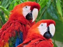 Scharlakansröda aror/papegojor arkivfoton