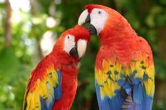 scharlakansröda macaws Royaltyfria Bilder