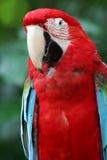 scharlakansröda macaws Royaltyfri Fotografi