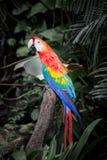 Scharlakansröda Macaws Arkivfoto