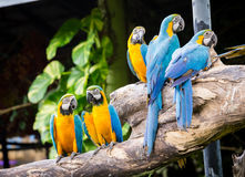 Scharlakansröda Macaws Royaltyfri Bild
