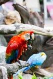 Scharlakansröda Macaws Royaltyfri Foto