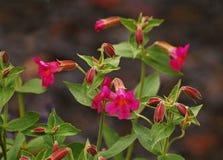 Scharlakansröda Monkeyflower Arkivbild