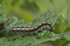 Scharlakansröda Tiger Moth Caterpillar Royaltyfri Foto