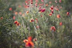 Scharlakansröda vallmo på aftonljus på fält Arkivbild