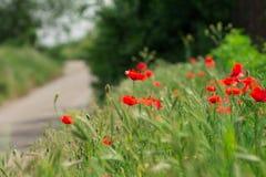 Scharlakansröda vallmo på vägen Fotografering för Bildbyråer