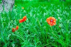 Scharlakansröda vallmor Royaltyfria Foton