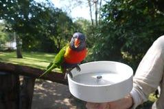 Scharlakansrött-Chested papegoja Royaltyfri Fotografi