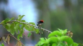 Scharlakansrött-dragit tillbaka Flowerpecker Dicaeum cruentatumsammanträde på trädfilial stock video