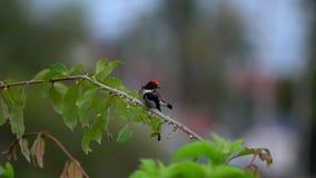 Scharlakansrött-dragit tillbaka Flowerpecker Dicaeum cruentatumsammanträde på trädfilial lager videofilmer