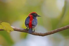 Scharlakansrött-drog tillbaka manliga gulliga fåglar för Flowerpecker Dicaeum cruentatum av Thailand Royaltyfri Bild