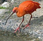 scharlakansrött för 5 ibis Arkivbilder