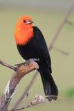 Scharlakansrött-hövdad blackbird Fotografering för Bildbyråer