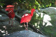 Scharlakansrött ibis anseende royaltyfri fotografi