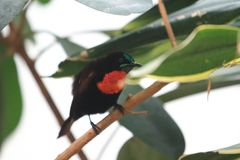 Scharlakansrött-kastanj sunbird royaltyfri fotografi
