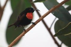 Scharlakansrött-kastanj sunbird royaltyfri foto