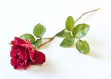 Scharlakansrött ros med droppar av dagg på kronbladen på vit bakgrund Royaltyfri Bild