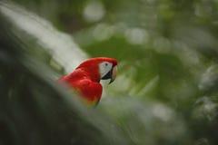 Scharlakansröda aramunkhättor Macao i mörker - grön tropisk skogBi för papegoja Arkivbild