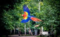 Scharlaken Ara die - Copan, Honduras vliegen stock foto