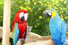 Scharlaken ara en blauw-en-Geelara bij een vlindertuin in Fort Lauderdale Royalty-vrije Stock Foto