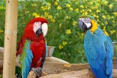 Scharlaken ara en blauw-en-Geelara bij een vlindertuin in Fort Lauderdale Stock Foto's