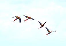 Scharlaken ara's die mannetjeseendbaai, corcovado, Costa Rica vliegen Royalty-vrije Stock Foto's