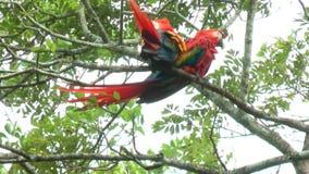 Scharlaken Ara twee die op een boom loopt en wordt neergestreken Het heeft geleden aan lokaal uitsterven door habitatvernietiging stock footage
