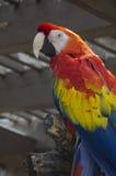 Scharlaken Aravogel Stock Foto