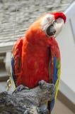 Scharlaken Aravogel Stock Fotografie