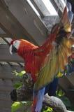 Scharlaken Aravogel Royalty-vrije Stock Afbeeldingen