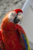 Scharlaken Aravogel Stock Foto's