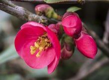 Scharlaken bloemen van fruitboom Stock Foto
