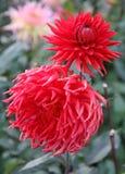 Scharlaken Dahlia's Liefdebloemen Stock Afbeeldingen
