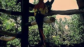 Scharlaken de arapapegaai van Miami stock videobeelden
